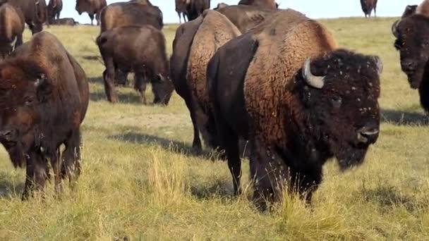 Varovné volání americký bizon Badlands Jižní Dakota