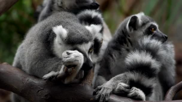 Conspiracy of Lemurs on a tree branch