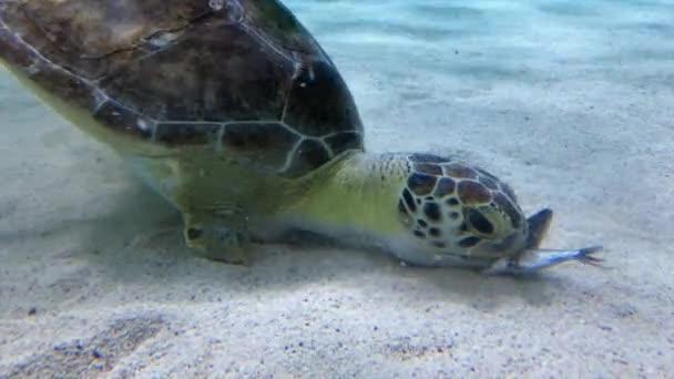 tengeri teknős étkezés