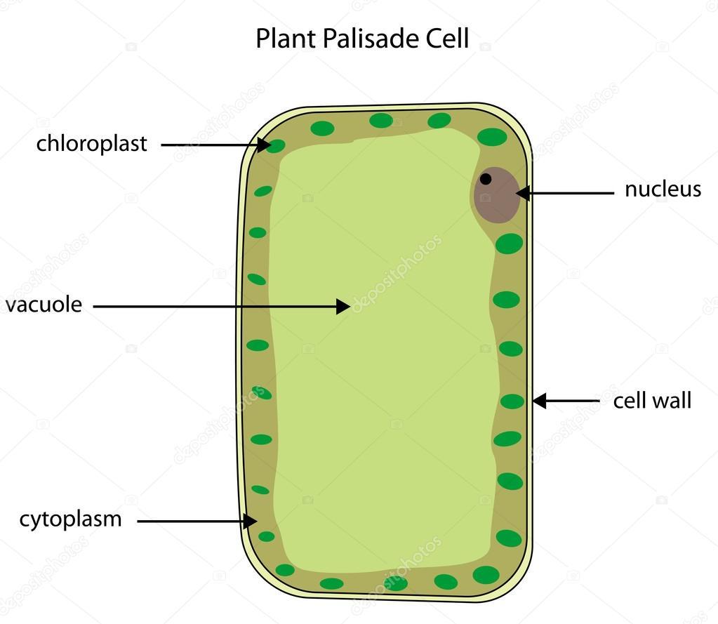 beschrifteten Diagramm der Pflanzenzelle palisade — Stockvektor ...