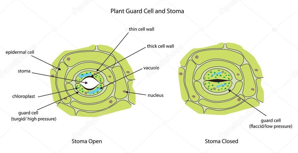 Protector de las células de la planta con estoma completamente ...