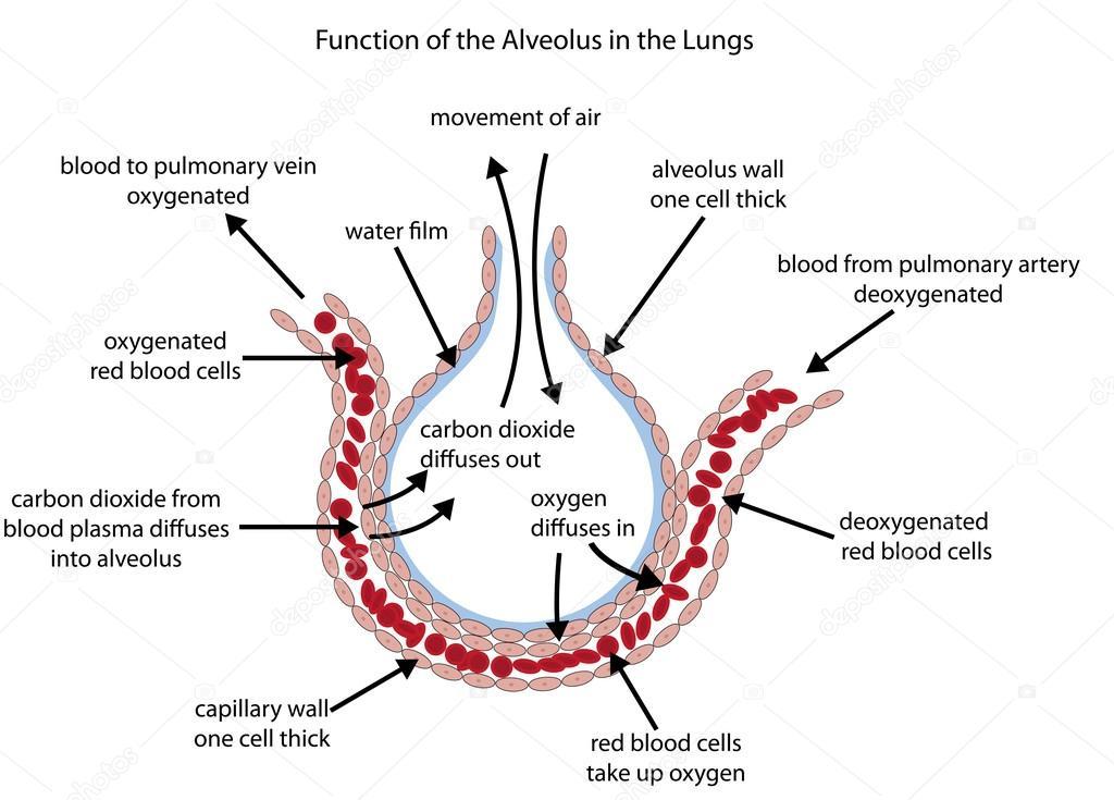 labelled diagram illustrating gaseous exchange in the alveolus stock vector doethion 97698126. Black Bedroom Furniture Sets. Home Design Ideas