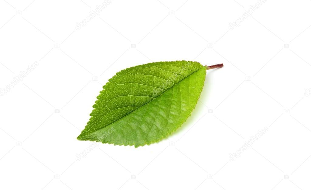 Рассмотрите фотографию листа вишни