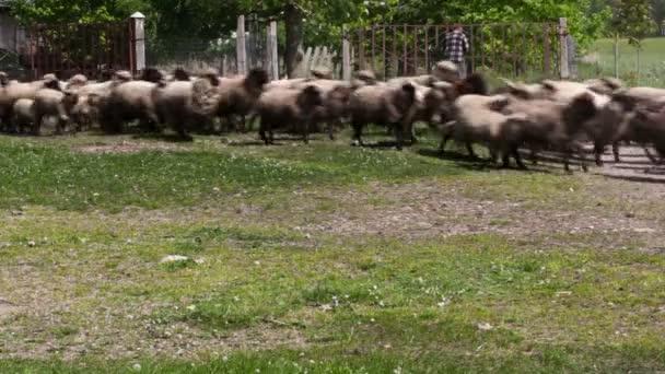 Sheeps and lambs running