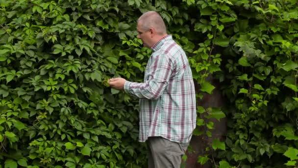 Zahradník u vinné révy pomocí zahradník nůžky