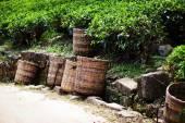 Foglie di tè fresco sono raccolti nei cestini per lulteriore elaborazione