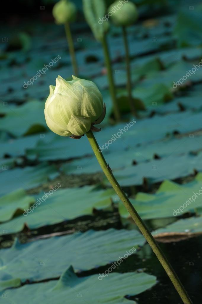 Green lotus flower magnolia lotus album plenum stock photo green lotus flower magnolia lotus album plenum scientific name nelumbo nueifera gaertn photo by noppharatth mightylinksfo