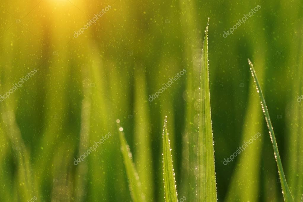 Rice plant in rice field with rainfall. Un-focus image.