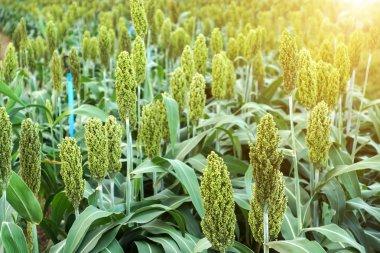 Sorghum or Millet field