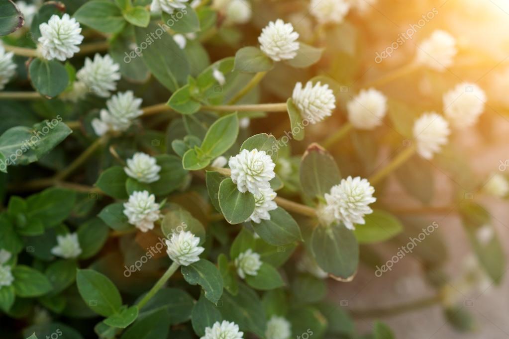 weiße Blume Gras in der Natur — Stockfoto © Noppharat_th #54061021