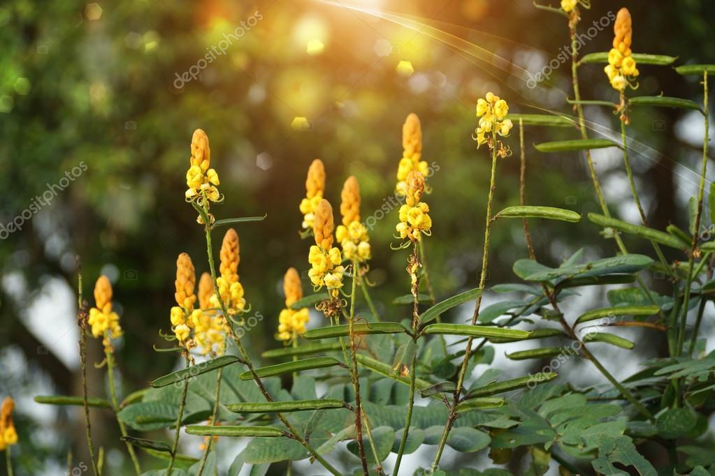 Digestive herbs name Ringworm Bush.