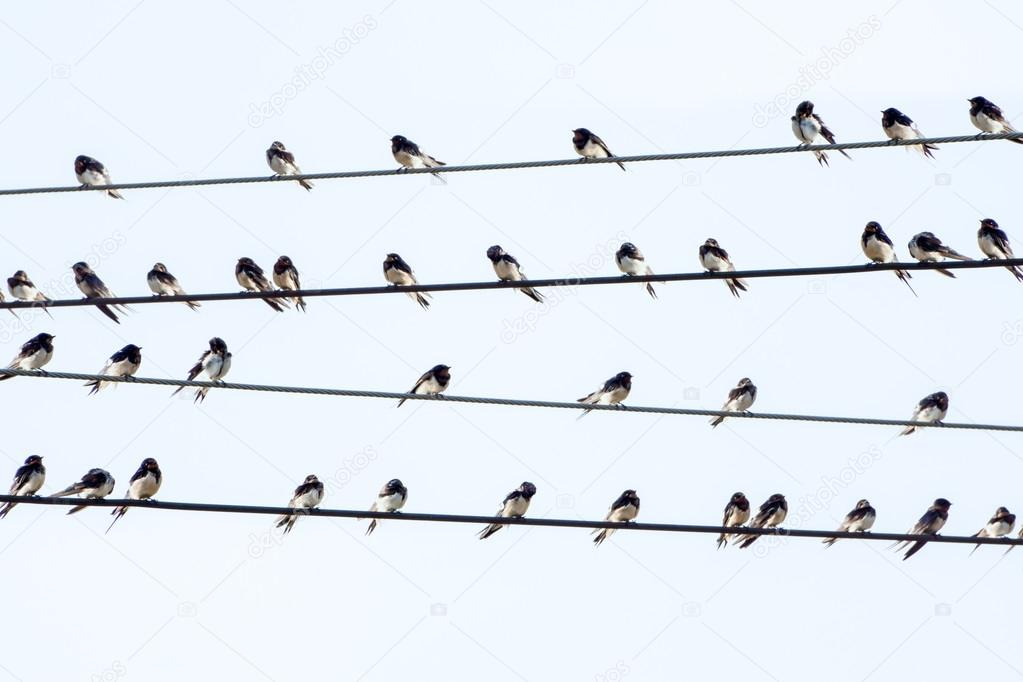 silhouettes of common swallows