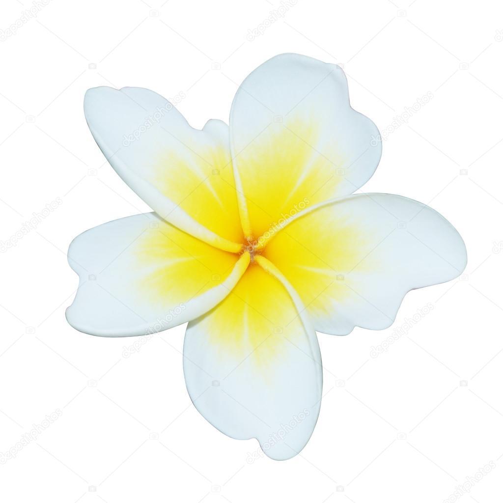 Plumeria (frangipani) flowers on white background.