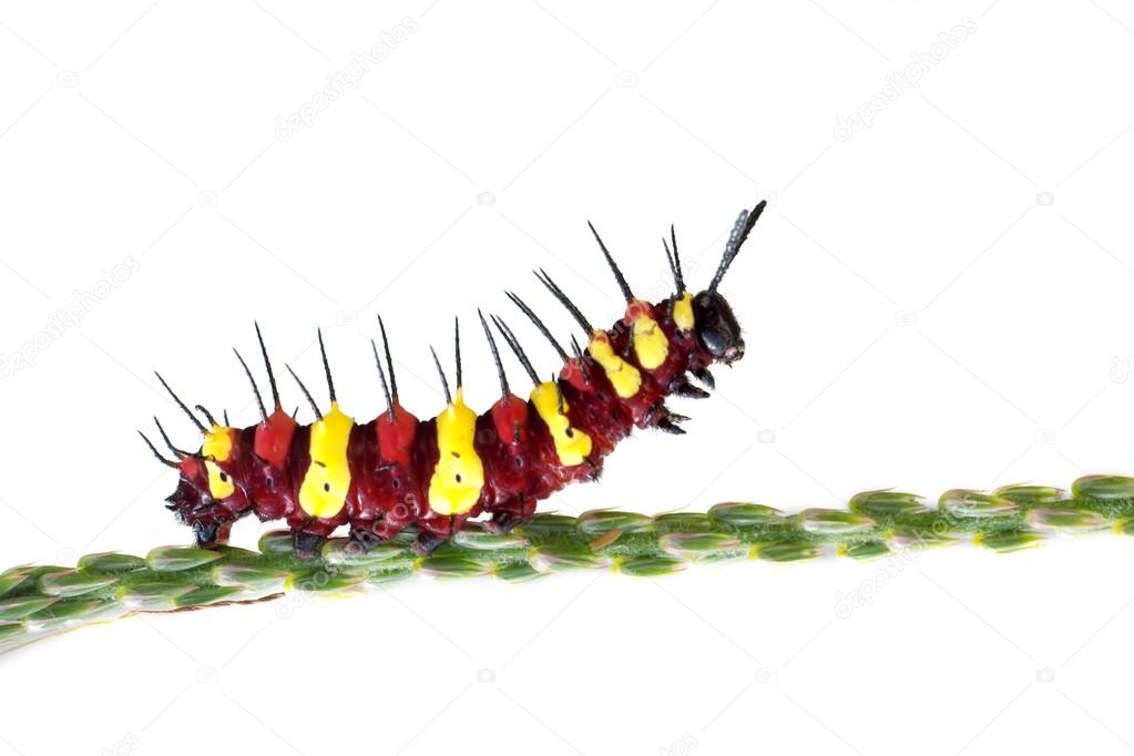 red and yellow caterpillar