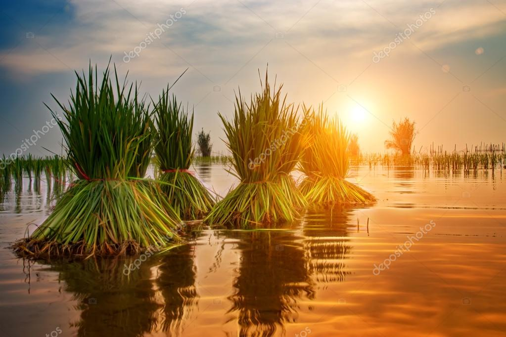 rice plant in rice field with sunlight