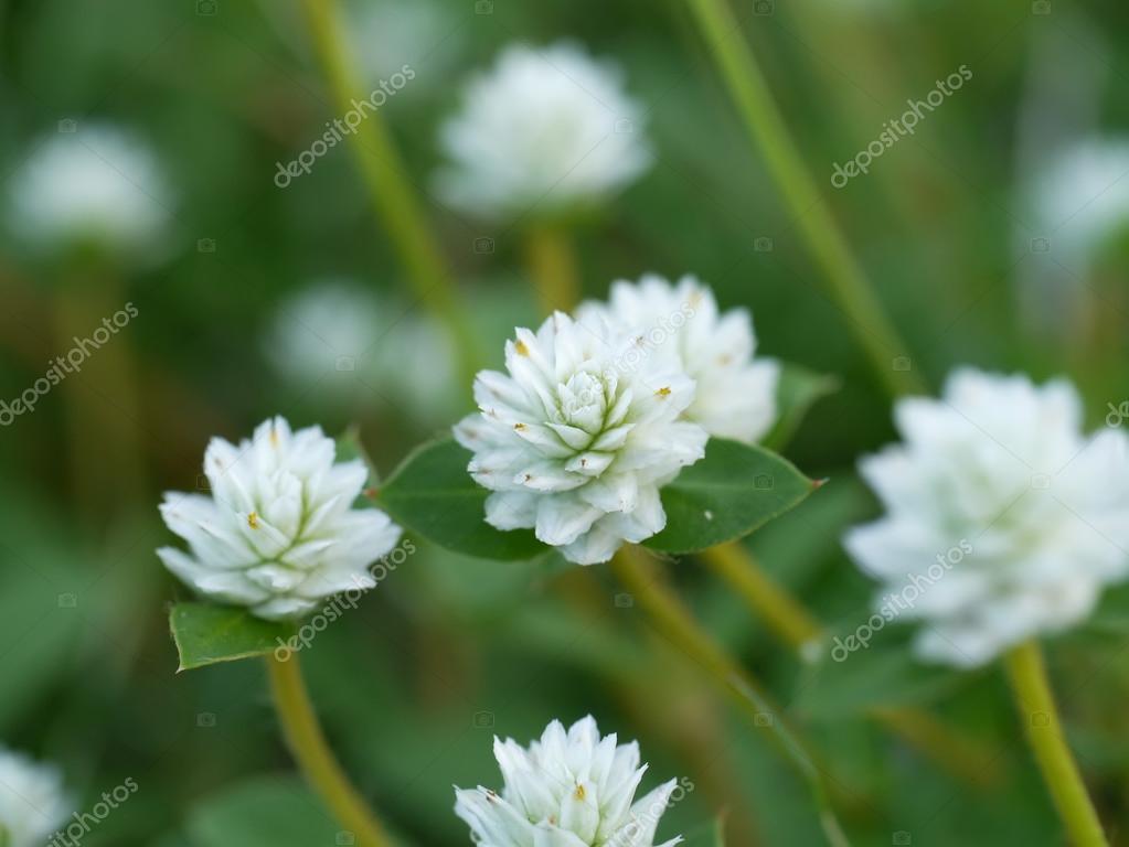 Hierba De Flores Silvestres Blancas Fotos De Stock C Noppharat Th