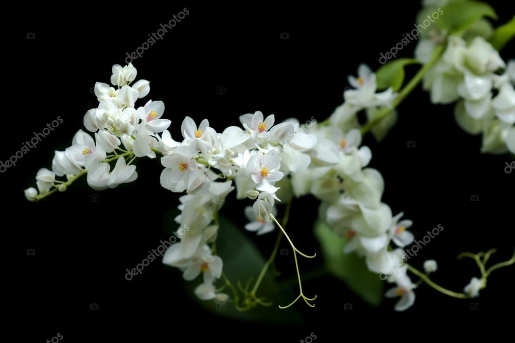 White Mexican Creeper Flower Stock Photo Noppharatth 85723880