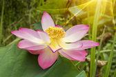 krásný Lotosový květ