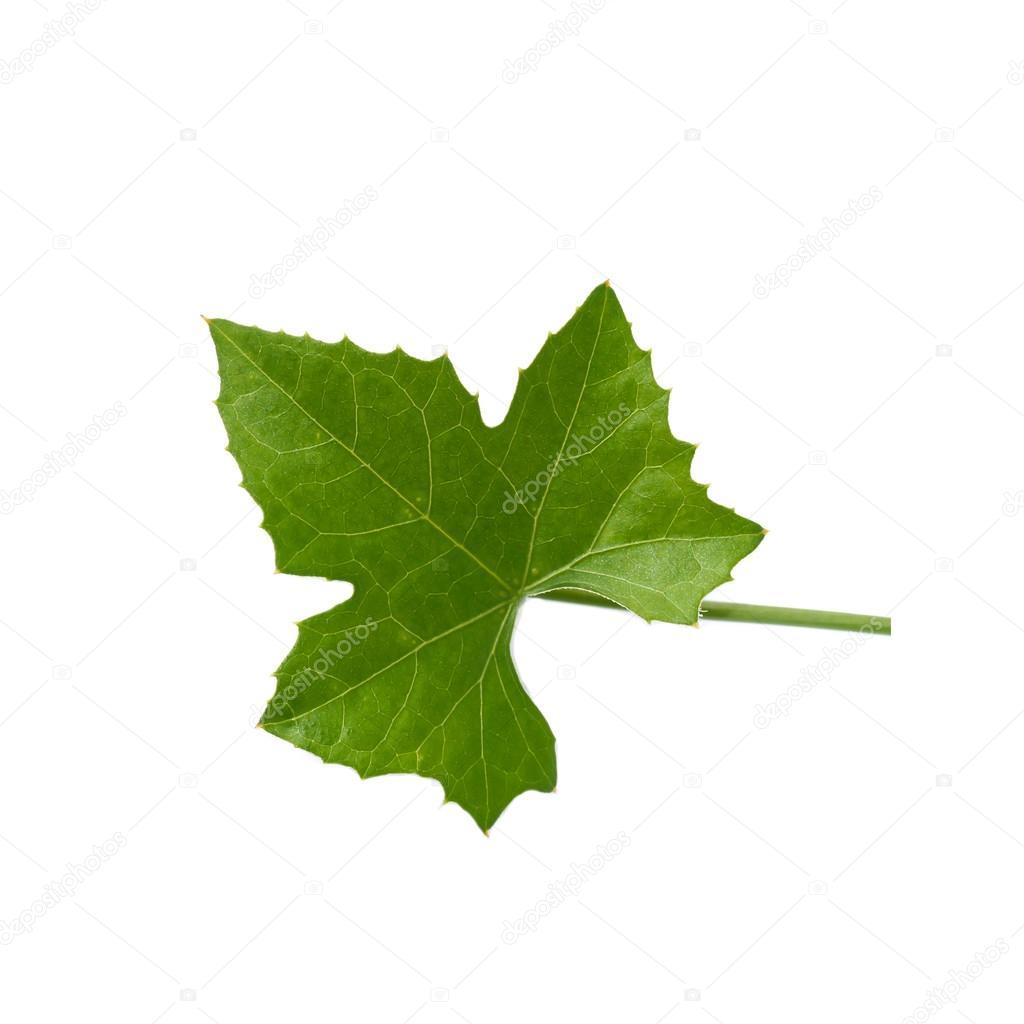 Green ivy leaf on white background.