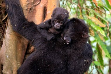 Gorilla Baby with Mother Climbing a Tree, Looking over Her Shoulder. Bwindi Impenetrable National Park, Uganda