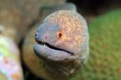 Fotografie Yellow-edged Moray
