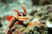 Fotografie Chromodoris Magnifica Nudibranch