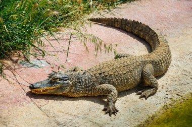Alligator or crocodile in zoo