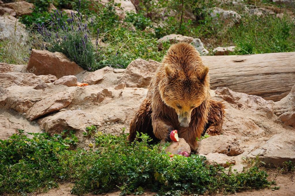 Brown bear eating apple