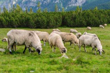 Sheep herds at alpine pastures in Retezat National Park, Carpathians, Romania stock vector