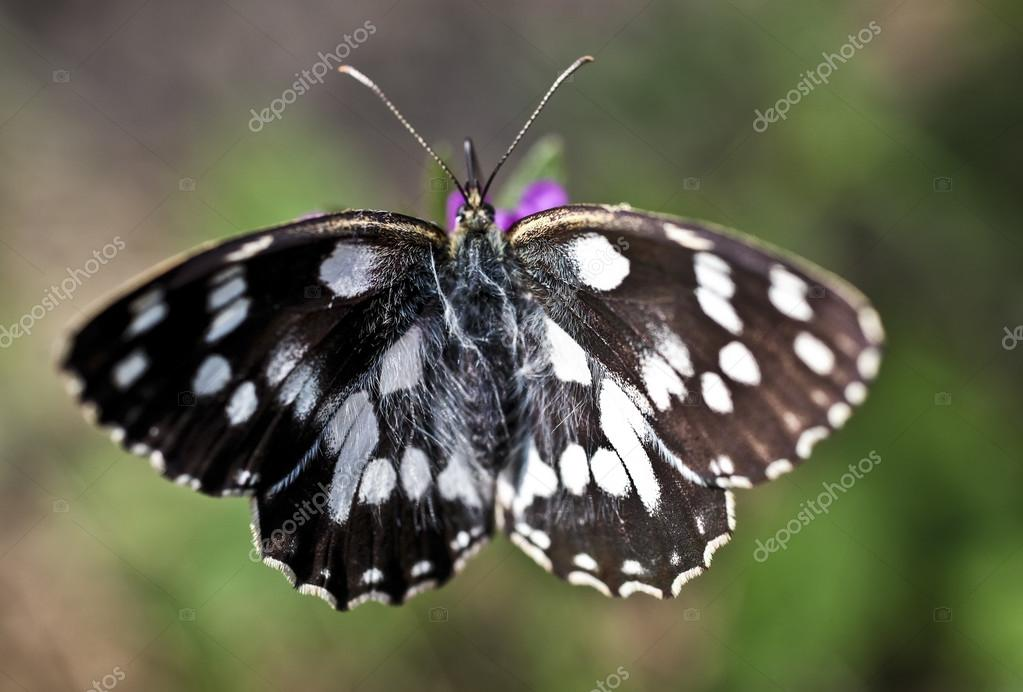 Melanargia galathea butterfly