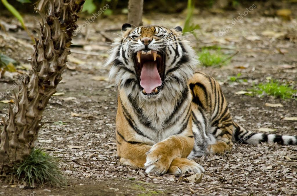 Tigre aprire bocca foto stock ozflash 122313788 for Piani a pianta aperta con piano seminterrato
