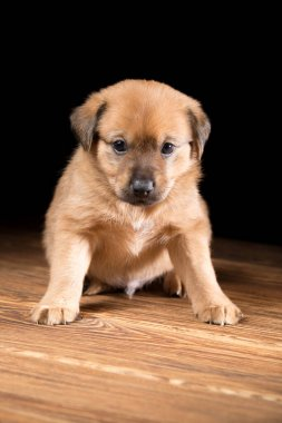 Cute puppy on a wooden table. Studio photo on a black background. Vertically framed shot.