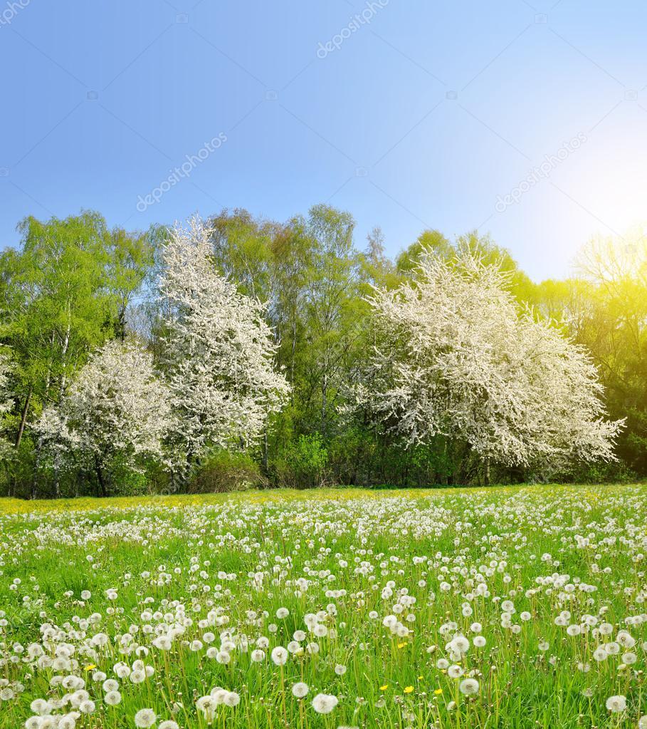 Spring landscape with dandelions