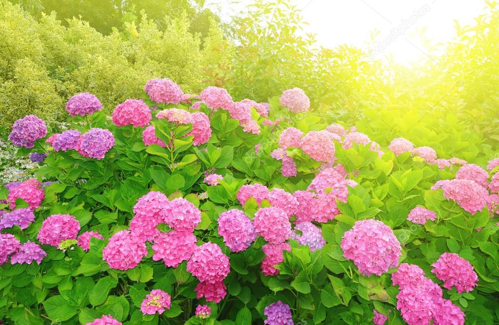 Pink Hydrangea flower (Hydrangea macrophylla)