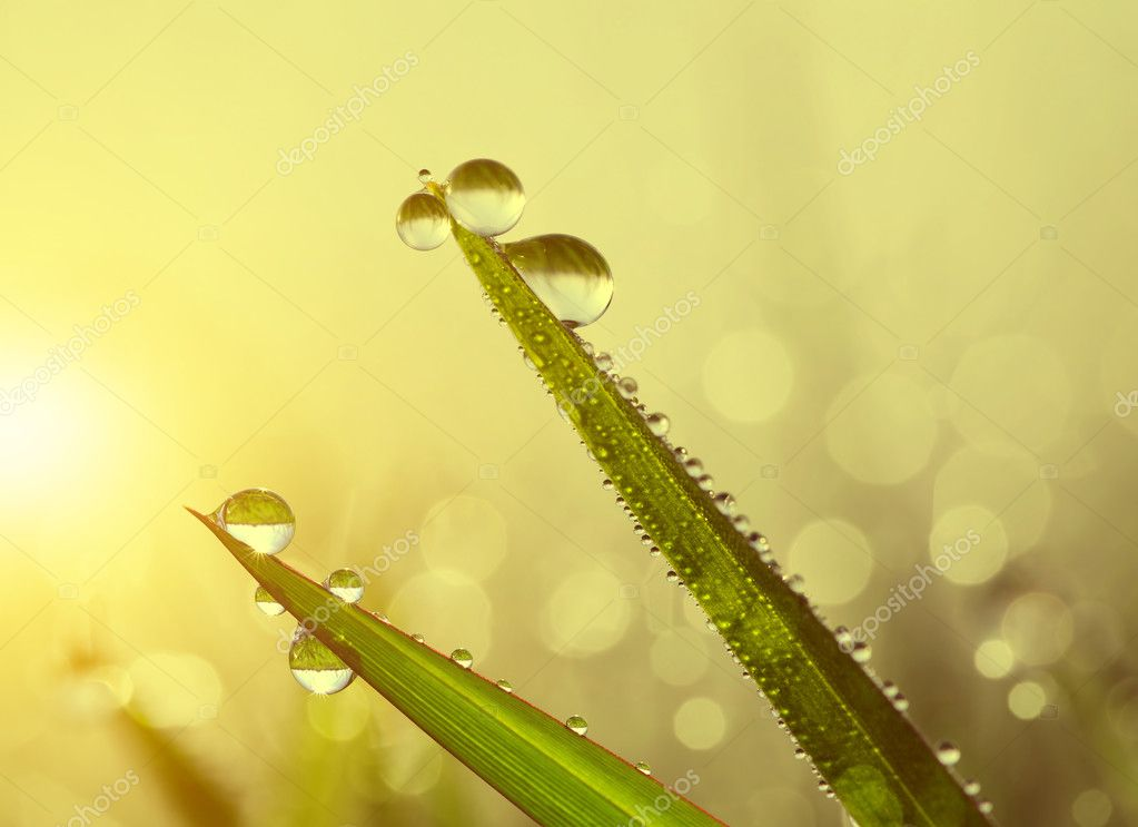 Fresh grass with dew drops at sunrise.