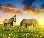 dva koně na louce