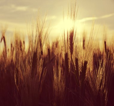 Silhouette of a barley field