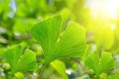 Fotografie ginkgo biloba leaves