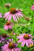 Fotografie Echinacea purpurea