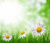 Fotografie Fresh green grass with daisies