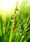 Photo Dew drops and ladybirds
