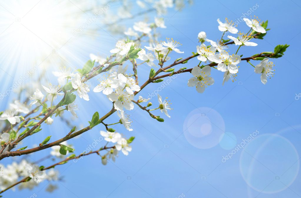 Spring blossoms cherry tree