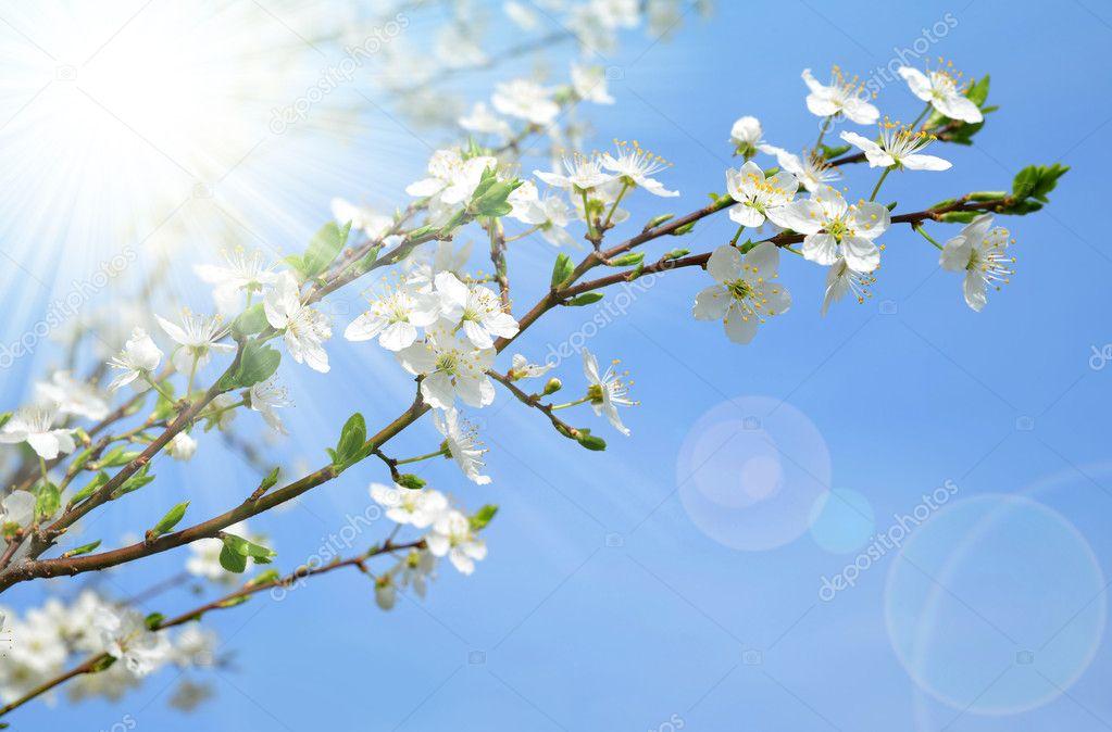 Spring blossoms cherry tree