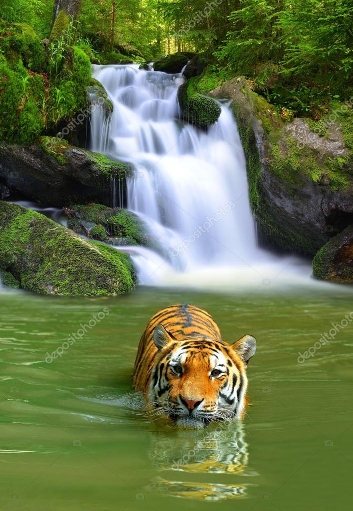 Фотообои Siberian Tiger