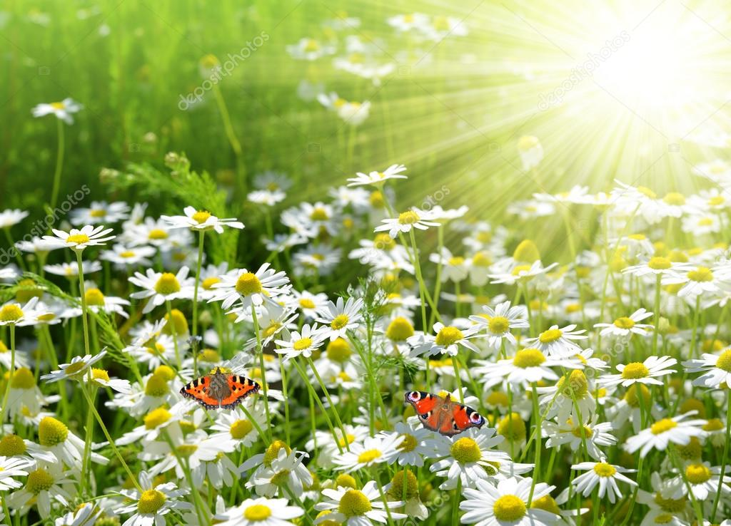 field of daisies with butterflies � stock photo 169 vencav