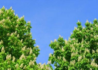 Blossoming chestnut tree