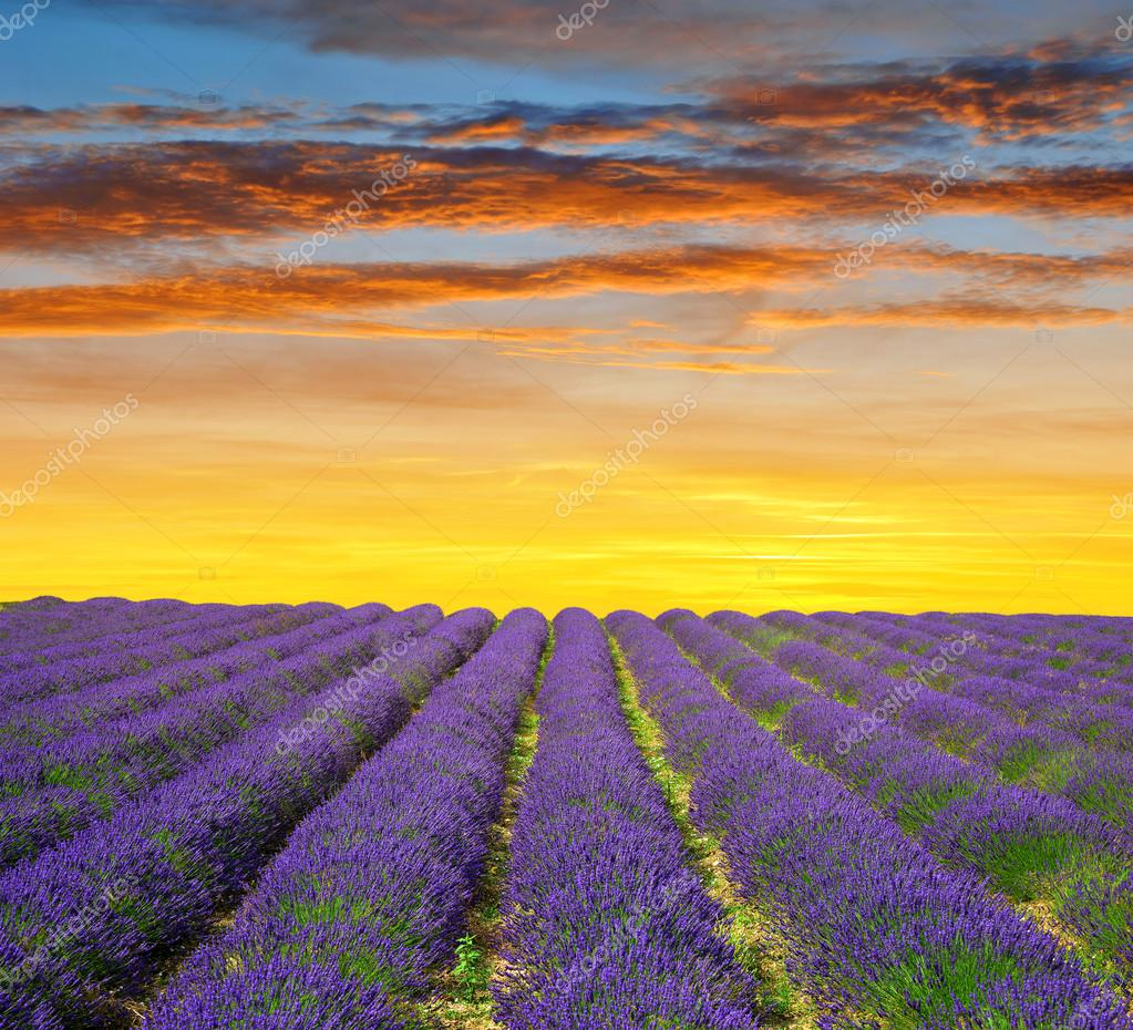Lavender fields in Provence at sunset