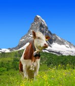 Photo Cow in the meadow
