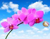 Fotografie růžová fialová orchidej