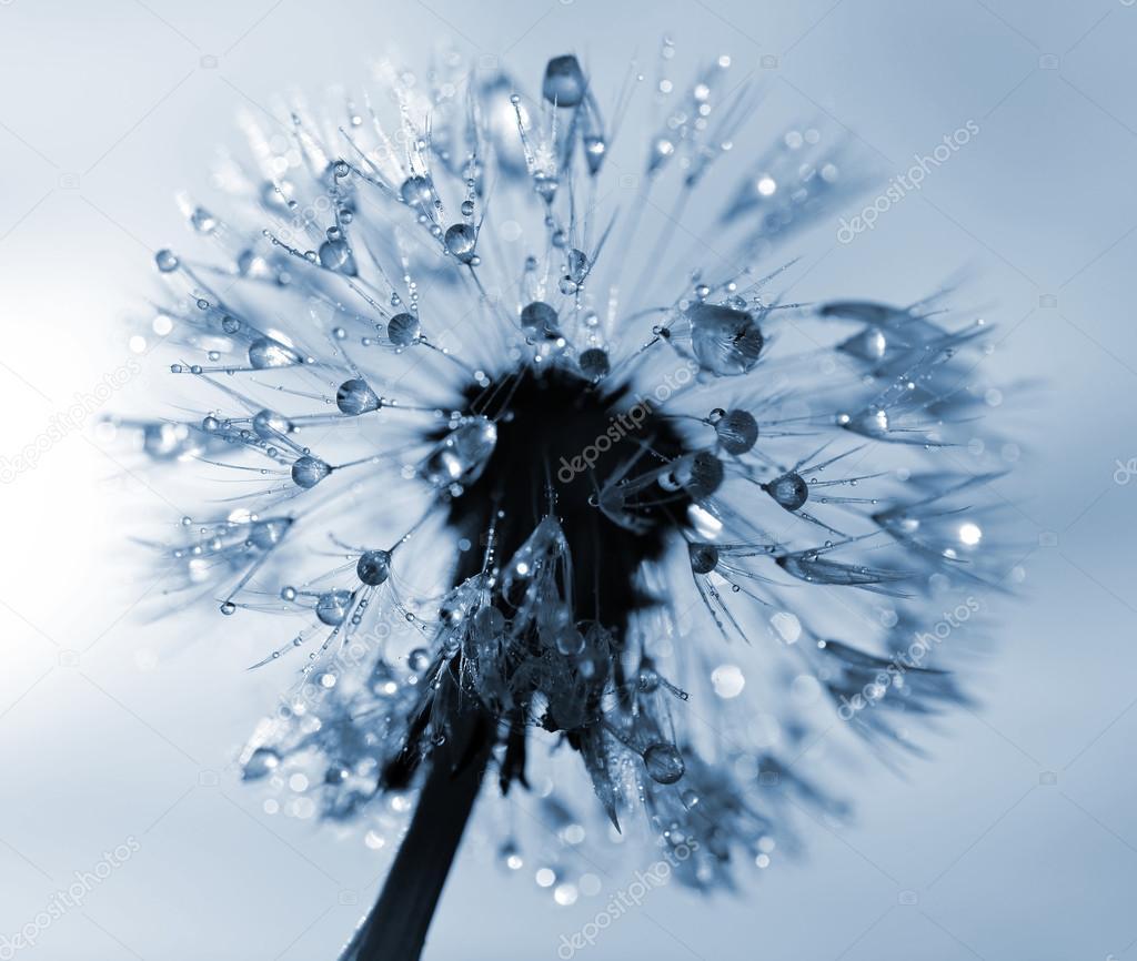 Dewy dandelion flower